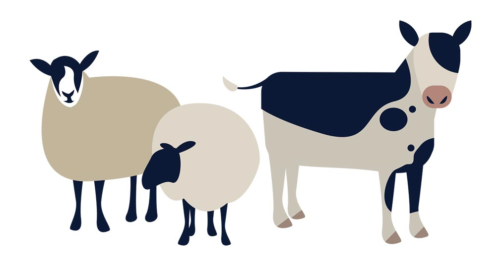 Cow and sheep